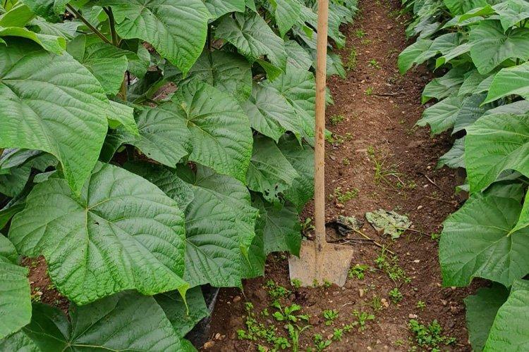 piantagione di paulownia per la produzione delle anime in legno
