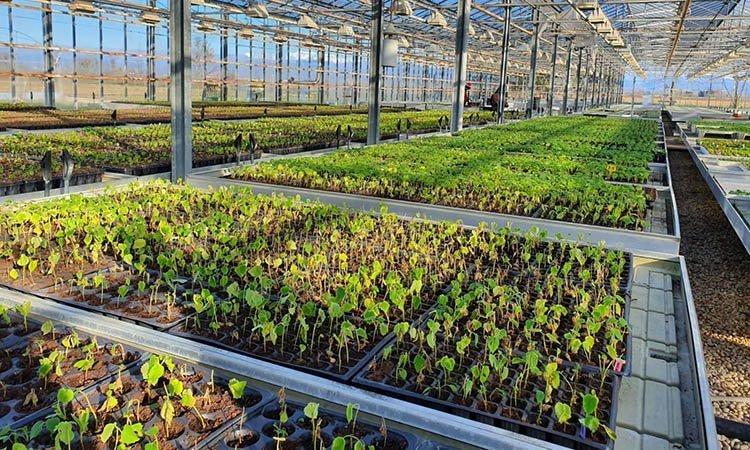 coltivazione di paulownia in Friuli Venezia Giulia, piantine in serra