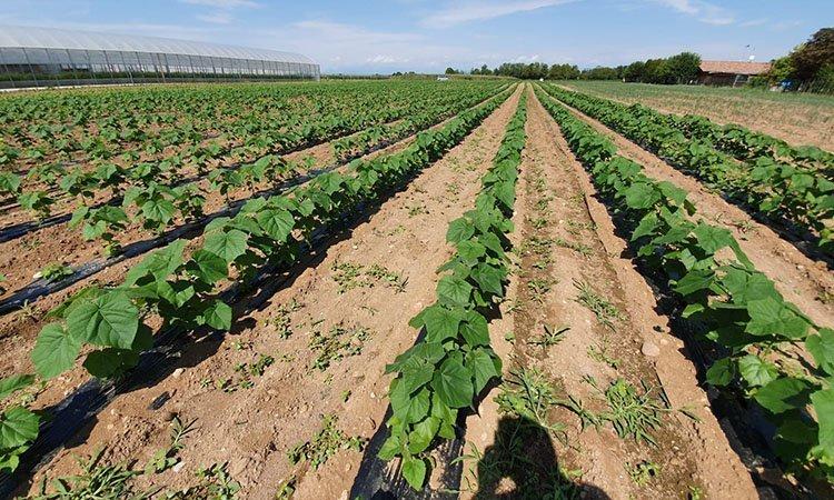 coltivazione di paulownia in Friuli Venezia Giulia, piantine in campo